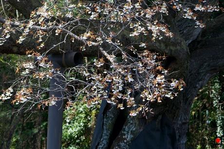 西山辰街道の大桜の小枝の様子の写真