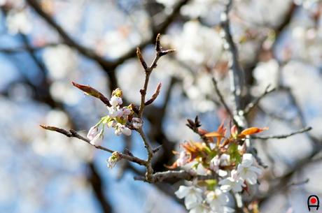西山辰街道の大桜の枝先の蕾の写真