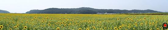 会場東側から眺めた向日葵畑の写真