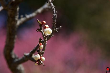 咲きはじめの白梅の写真