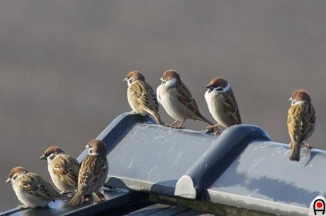 集まった雀の写真