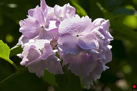 逆光のピンクの紫陽花の写真
