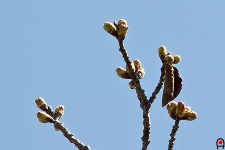 桜の蕾の写真