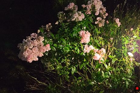 園内の薔薇の写真