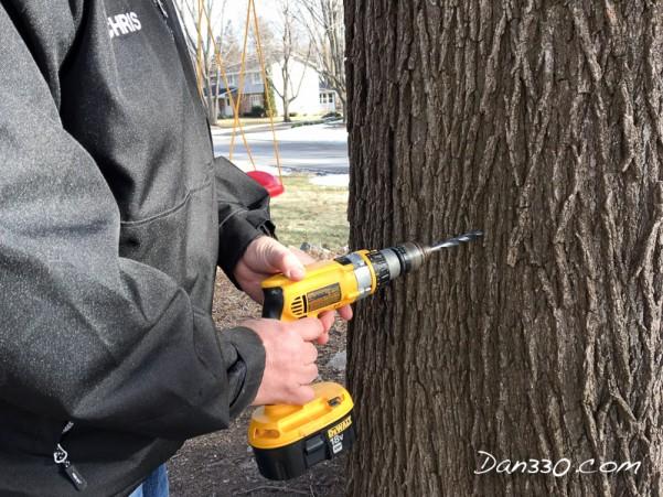 drill maple tree