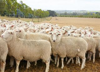 羊の毛を洗ってる
