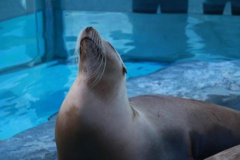 fur-seal-2134286_640