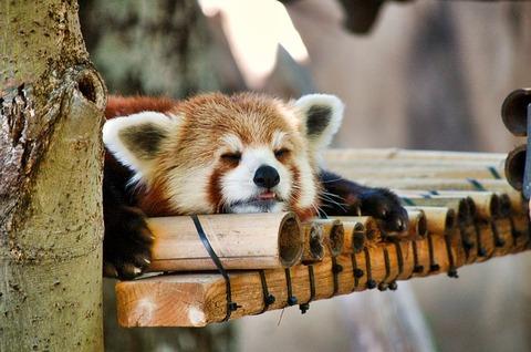 red-panda-3006441_640