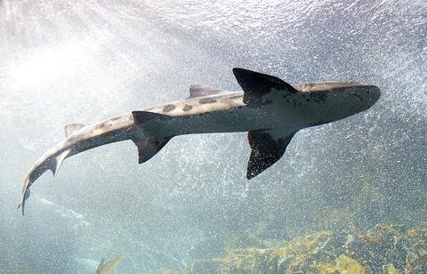 shark-553666_640