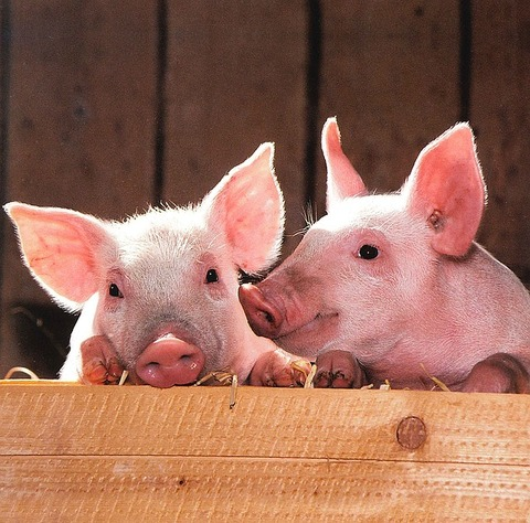 pigs-1507208_640