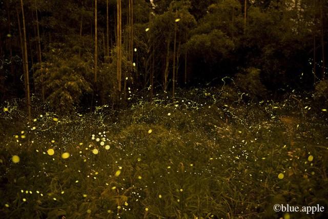Fireflies Chichibu