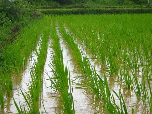 rice-farm-1946224_1280_R