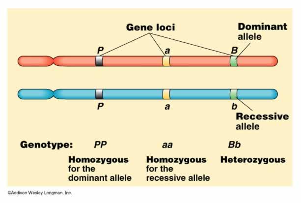 染色体 | BioHuck