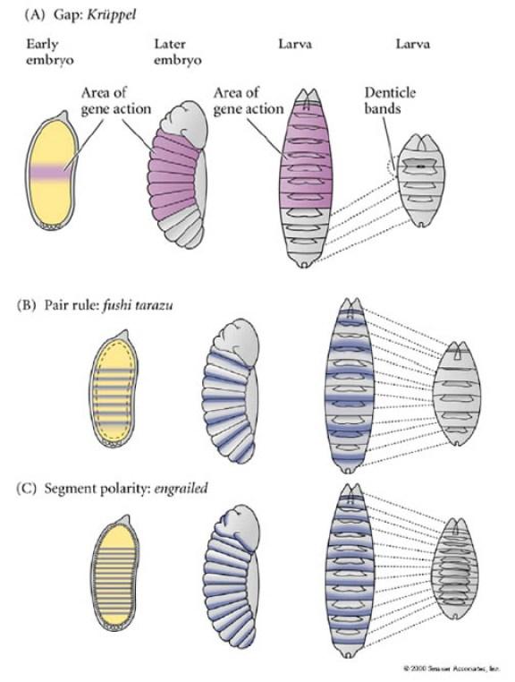 ショウジョウバエ遺伝子