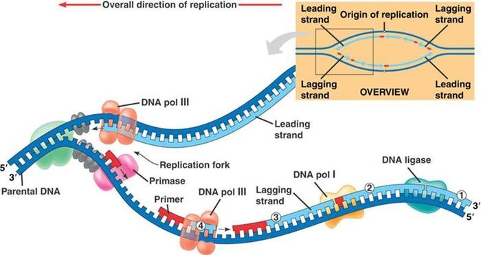 DNA複製