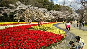 チューリップと菜の花と桜と。
