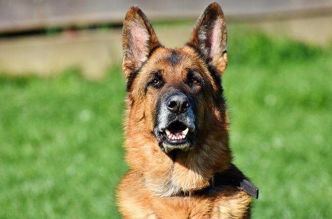 schafer-dog-3388580_960_720