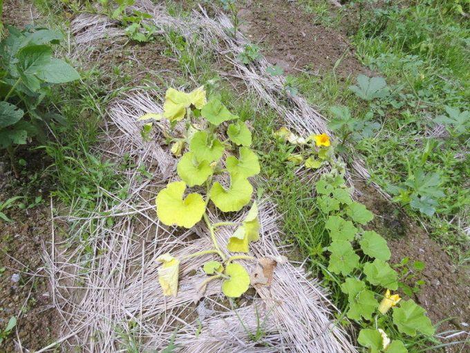 「かぼちゃ 葉 黄」の画像検索結果