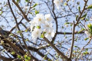桜2-1704041