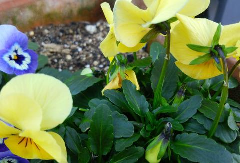 5 ビオラの花柄 縮小