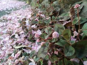 ヒメツルソバと散り桜