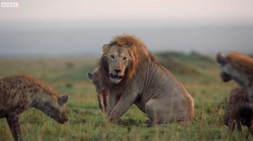 雄ライオン ハイエナ 20頭に関連した画像-01