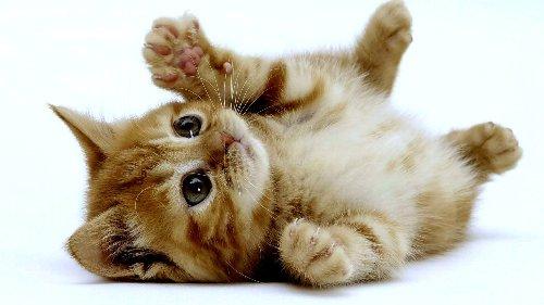 猫 ネコ ニャンコ テレワークに関連した画像-01