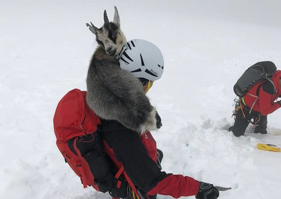 登山者を見つけ一緒に山を登ったひとなつっこいヤギ。帰り ...