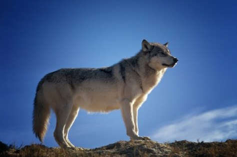 wolf-142173_640_e