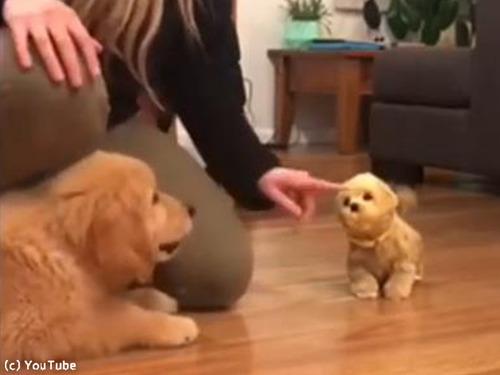 子犬、おもちゃの犬に激しくやきもちをやく00