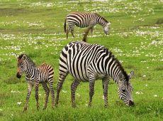 baby-zebra-75885__340