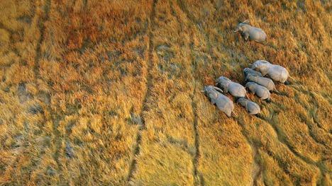 140926象の群れ@ボツワナ