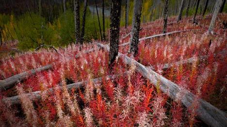 141018ヤナギランの紅葉@カナダ ブリティッシュ・コロンビア州