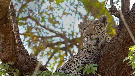 140905木の上のヒョウ@ボツワナ モレミ動物保護区