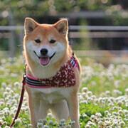 dog_img_shiba
