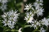 小さな白い花1