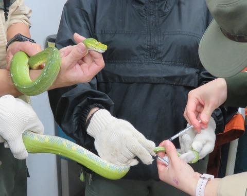 ミドリニシキヘビに注射