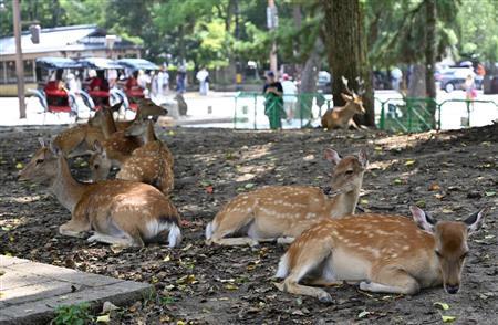 Le cerf de Nara