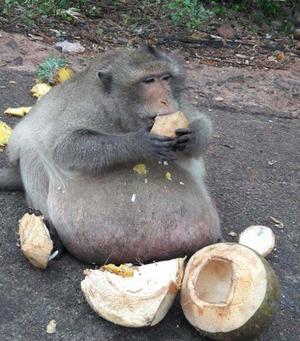 obese_monkey_02