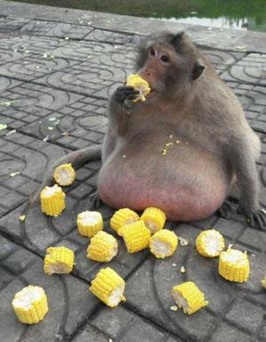 obese_monkey_05