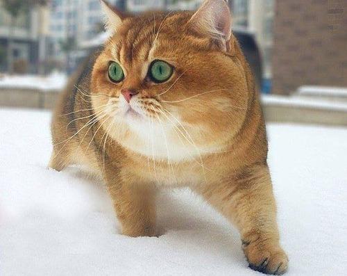 ロシアで柴犬みたいな猫が発見される2