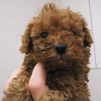 2009-11-27-toypoodle-apricot