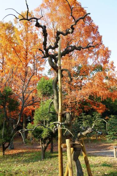 Phoenix Tree exposed to A-Bomb frpm Hiroshima, Honmaru Garden