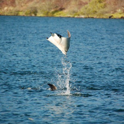 A single Mobula Ray announces his presence with a huge slap on the water.