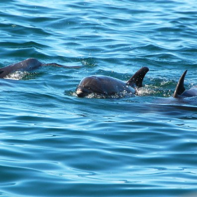 Dolphin sightings are common around the Sea of Cortez-