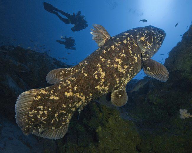 Coelacanths - 420 Million years old Ghostfish found alive