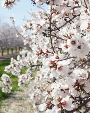 blossom flowers at fresno