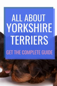 All About Yorkshire Terrier #dogbreed #smalldogbreeds #yorkies #yorkshireterriers