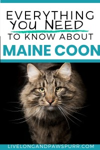 all about maine coon cats #mainecoon #catbreeds