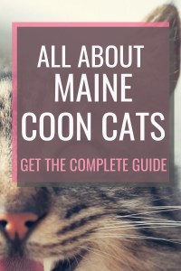 all about maine coon cats #catbreeds #mainecoons #mainecooncats
